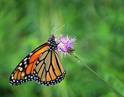 Monarch In The Meadow Art Print