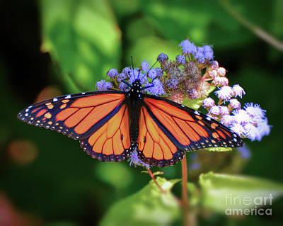 Photograph - Monarch In The Mist by Kerri Farley