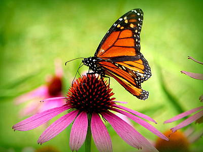 Photograph - Monarch In The Morn by Lori Seaman