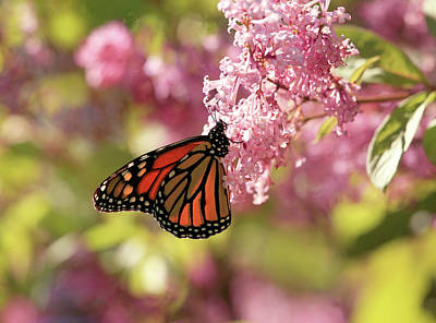 Photograph - Monarch In The Pink by Donna Kennedy