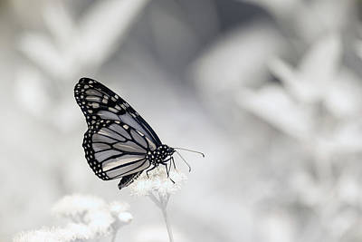 Photograph - Monarch Infrared by Brian Hale
