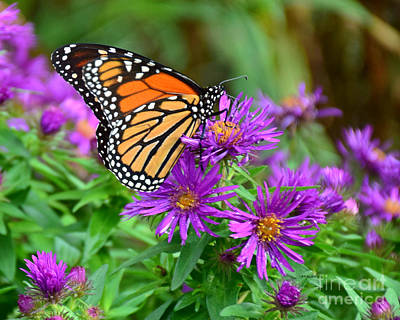 Photograph - Monarch by Kathy M Krause