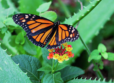 Photograph - Monarch by Kent Nancollas