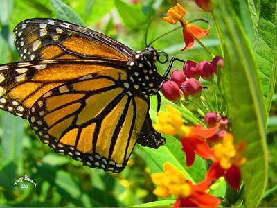 Photograph - Monarch by Kerry Beverly