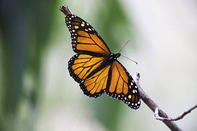 Photograph - Monarch by Kyle Simpson