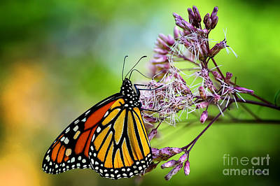 Photograph - Monarch by Lois Bryan