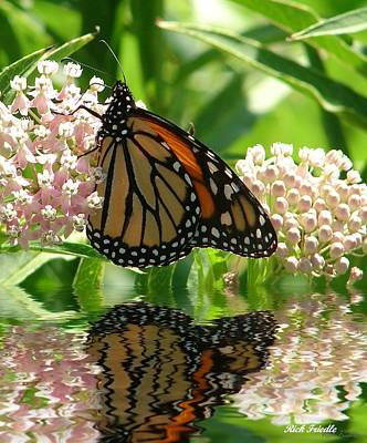Monarch Lunch Art Print by Rick Friedle