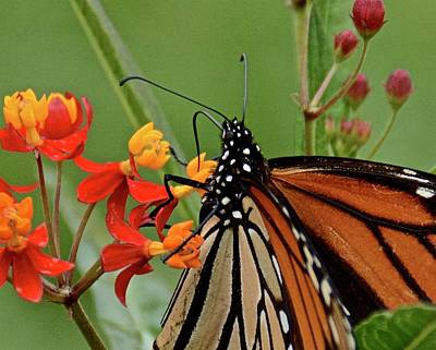 Photograph - Monarch Macro by Carol Bradley