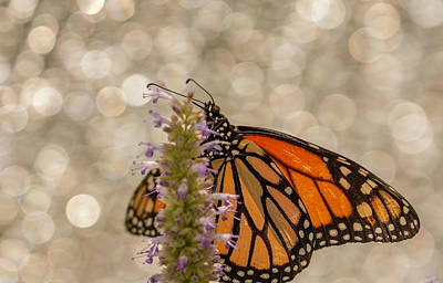 Photograph - Monarch Macro by Keith Smith