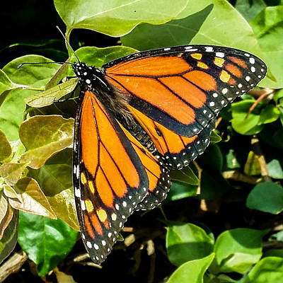 Photograph - Monarch by Mark Barclay