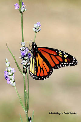 Photograph - Monarch by Matalyn Gardner