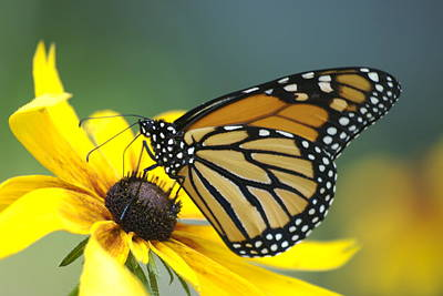 Mgp Photograph - Monarch by Michael Peychich