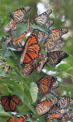 Photograph - Monarch Migration Cluster by Cathy  Beharriell