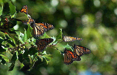 Photograph - Monarch Migration by Elsa Marie Santoro