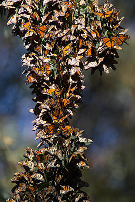 Photograph - Monarch Migration  by Digiblocks Photography
