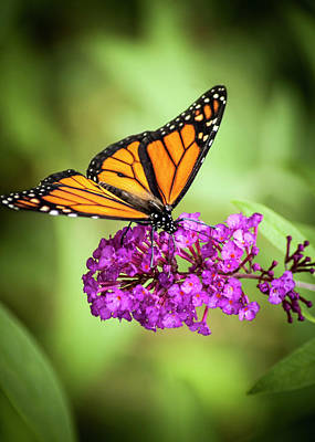 Photograph - Monarch Moth On Buddleias by Carolyn Marshall