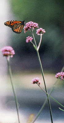 Photograph - Monarch No. 7-1 by Sandy Taylor