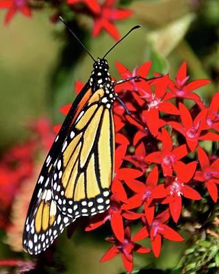 Photograph - Monarch Number Three by Carol Bradley