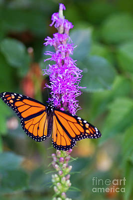 Photograph - Monarch Of The Garden by Douglas Kikendall