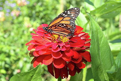 Photograph - Monarch On A Zinnia by Lou Ford