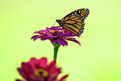 Photograph - Monarch On A Zinnia by Shelly Gunderson