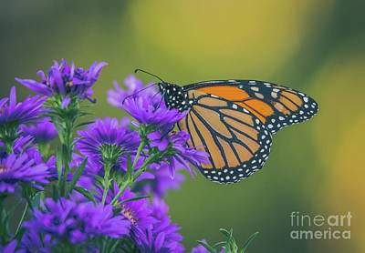 Photograph - Monarch On Asters by Cheryl Baxter