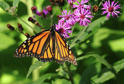 Photograph - Monarch On Asters by Debbie Oppermann