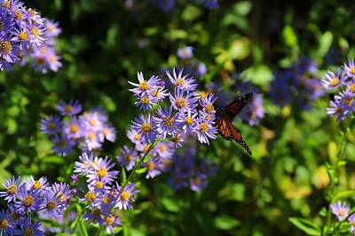 Photograph - Monarch On Asters by Kathryn Meyer