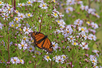 Photograph - Monarch On Asters by Paul Rebmann