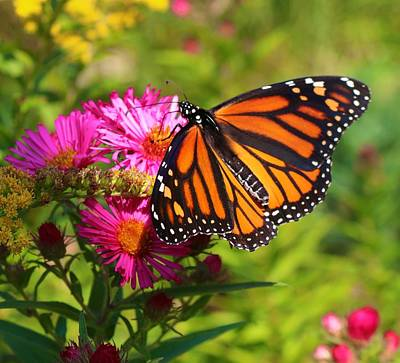 Photograph - Monarch On Asters by Polly Castor