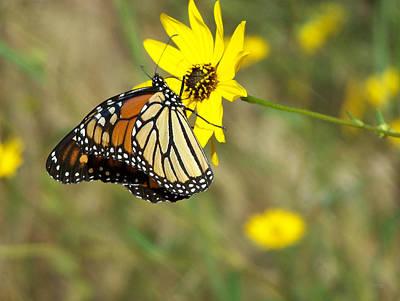 Photograph - Monarch On Bidens Mitis by rd Erickson