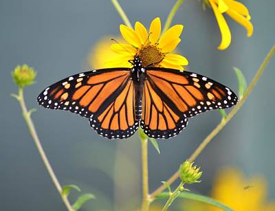 Photograph - Monarch On Bur Marigold by rd Erickson