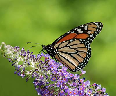 Photograph - Monarch On Butterfly Bush by Lara Ellis