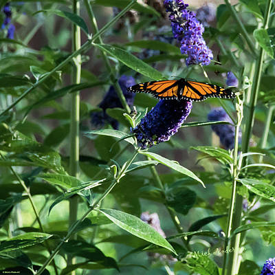 Photograph - Monarch On Butterfly Bush by Mick Anderson