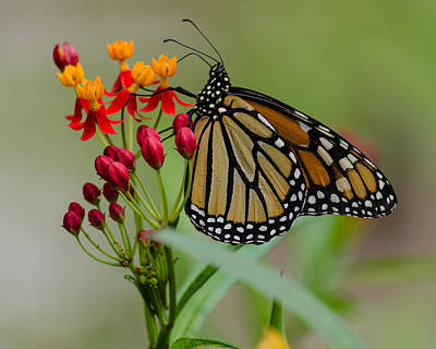 Photograph - Monarch On Butterfly Weed by Stephanie Maatta Smith