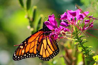 Photograph - Monarch On Cleome by Kathryn Meyer