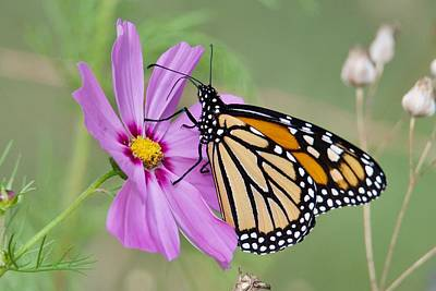 Photograph - Monarch On Cosmos by Michael Peychich
