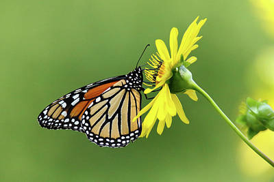 Photograph - Monarch On Cup Plant by Brook Burling