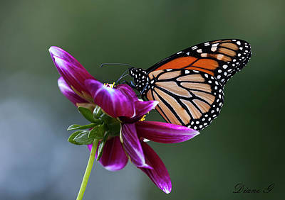 Photograph - Monarch On Dahlia by Diane Giurco