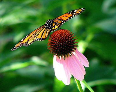Photograph - Monarch On Echinacea by T Guy Spencer