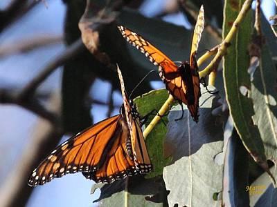 Monarch On Eucalyptus Art Print
