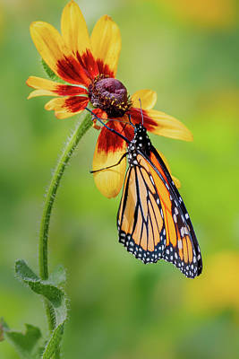 Photograph - Monarch On Flower by Bill Wakeley