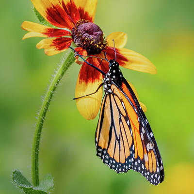Photograph - Monarch On Flower Square by Bill Wakeley