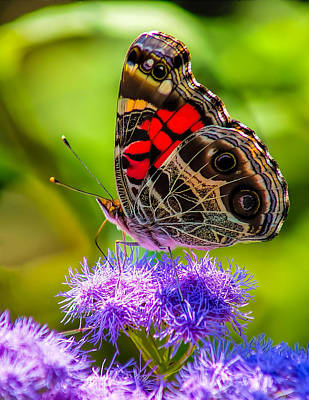 Photograph - Monarch On Flowers by Nick Zelinsky