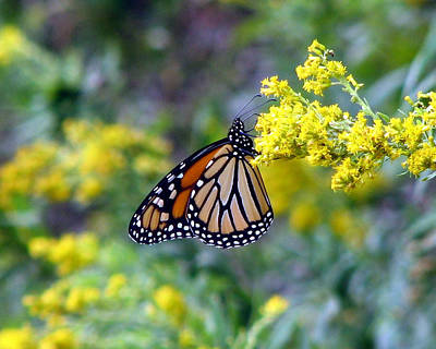 Photograph - Monarch On Goldenrod 1 by George Jones