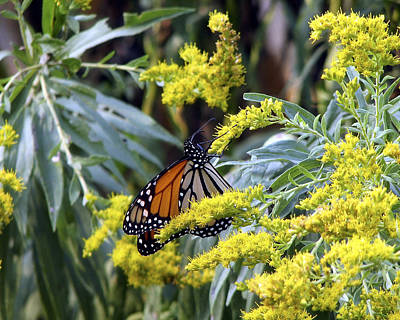 Photograph - Monarch On Goldenrod 2 by George Jones