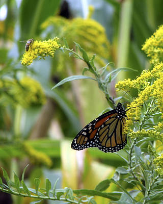 Photograph - Monarch On Goldenrod 3 by George Jones
