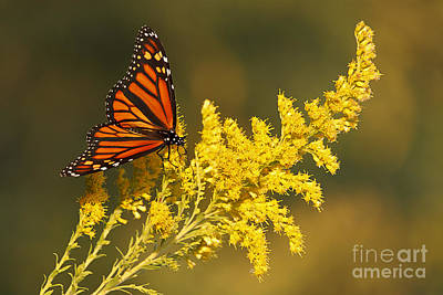 Monarch On Goldenrod Art Print by Dennis Hedberg