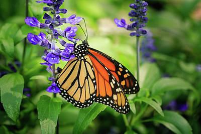 Photograph - Monarch On Lavender by Joni Eskridge