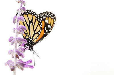 Photograph - Monarch On Lavender by Ruth Jolly